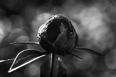 Photograph - Peony Bud Bw by Peter Scott