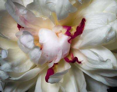 Photograph - Peony by Carl Engman