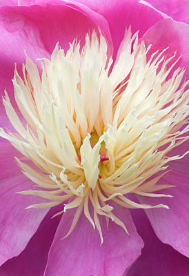 Bowl Of Flowers Photograph - Peony Centre Abstract by Nigel Downer