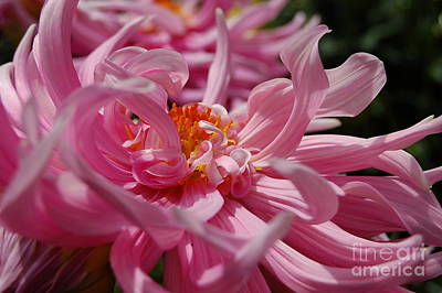 Photograph - Peony Dance by Tamyra Crossley