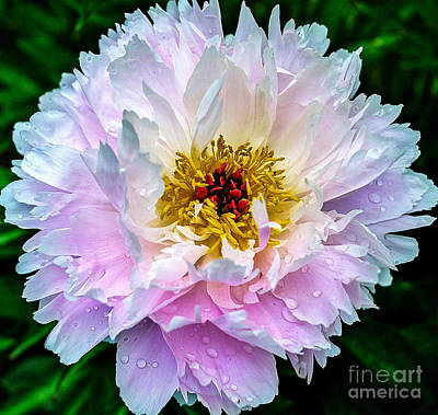 Peony Flower Art Print by Edward Fielding