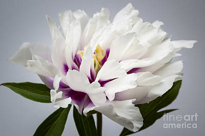 Detail Floral Photograph - Peony Flower by Elena Elisseeva