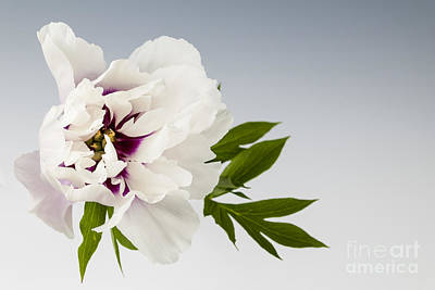 Peony Photograph - Peony Flower On Gray by Elena Elisseeva
