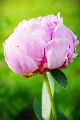Photograph - Peony Flower by Sharon Popek
