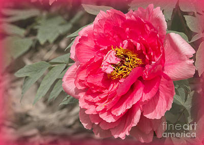 Photograph - Peony Framed In Pink by Sandra Clark