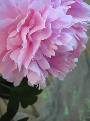 Lilac Photograph - Peony Glory by Shirley Sirois