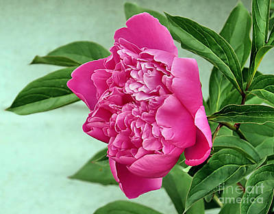 Photograph - Peony In Bloom by Janice Drew