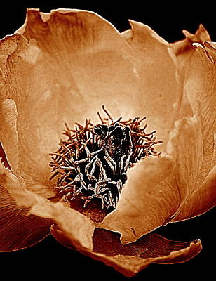Photograph - Peony by Kathy Sampson