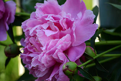 Photograph - Peony by Kim Hymes