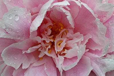 Peony Love Art Print by Julie Andel