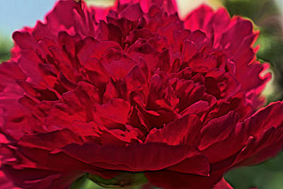 Peony Photograph - Peony Love by The Art Of Marilyn Ridoutt-Greene