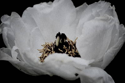 Photograph - Peony Lovely by Kathy Sampson