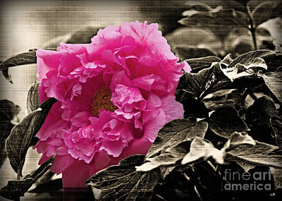 Photograph - Peony Of Old by Sandra Clark