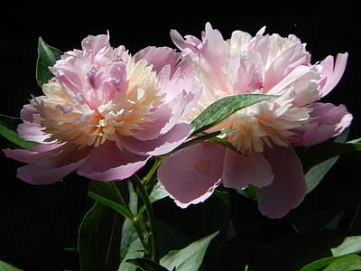 Photograph - Peony Pair by Betty-Anne McDonald