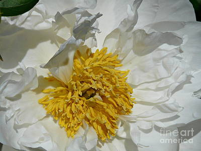 Photograph - Peony Perfection by Avis  Noelle