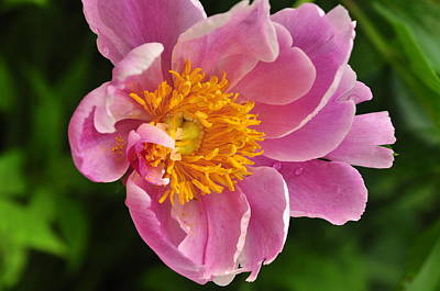 Photograph - Peony  by Puzzles Shum