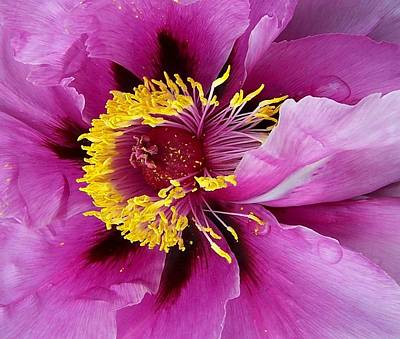 Photograph - Peony Revealed by Peter Mooyman