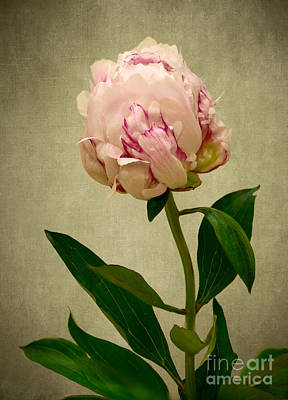 Photograph - Peony Rose by Matt Malloy