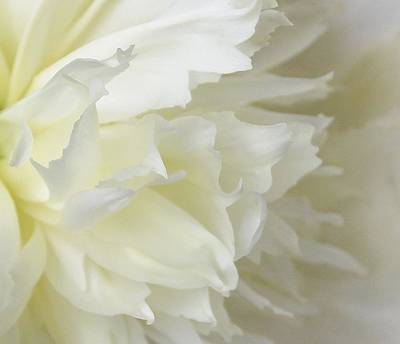 Photograph - Peony Soft by Diane Alexander