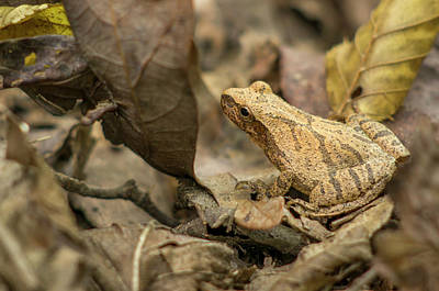 Ozarks Photograph - Pepper Treefrog, St by Rob Sheppard