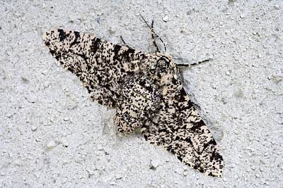 Peppered Moth Art Print by Power And Syred