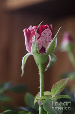 Photograph - Peppermint Rose Bud by Donna Brown
