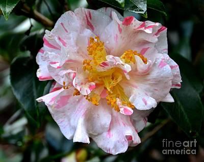 Photograph - Peppermint Camellia Sasanqua by Carol  Bradley