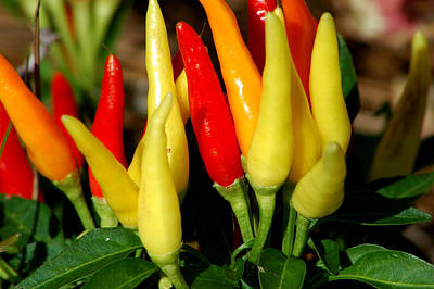 Photograph - Peppers by David Weeks