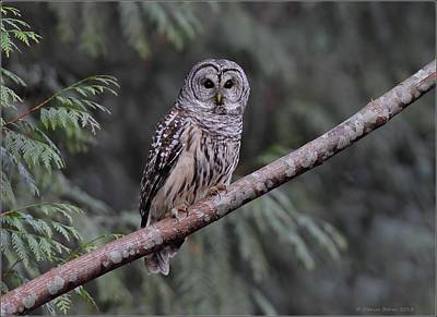 Photograph - Perched Barred Owl by Daniel Behm