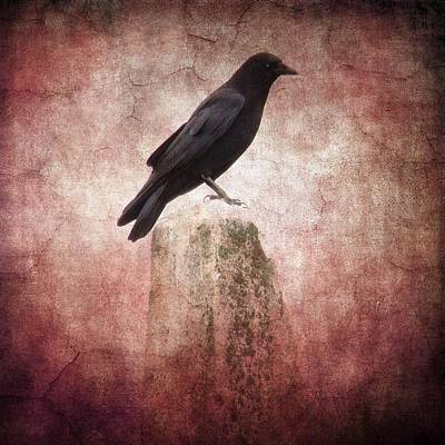 Perched Crow Print by Gothicrow Images