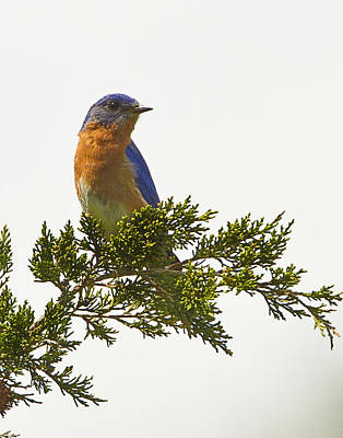 Photograph - Perched Eastern Bluebird by John Vose