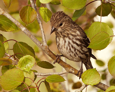 Photograph - Perched Female Purple Finch by Gregory Scott