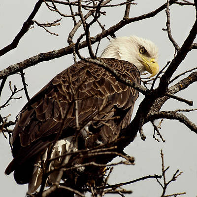 Eagle Photograph - Perched On High by Thomas Young