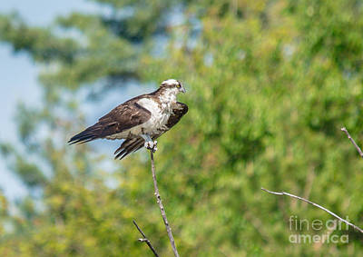 Photograph - Perched Osprey by Cheryl Baxter
