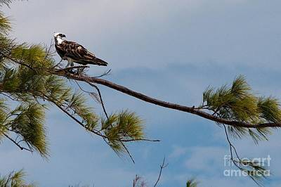 Pop Art - Perched Osprey by Cheryl Hurtak