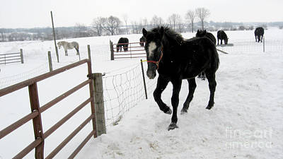 Photograph - Percheron Horse Colt In Snow by Conni Schaftenaar