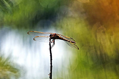 Photograph - Perching Dragonfly by Theo OConnor