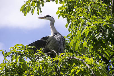 Photograph - Perching Heron by Ross G Strachan