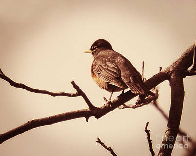 Photograph - Perching Robin by Emily Kelley