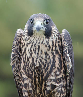 Peregrine Falcon Original
