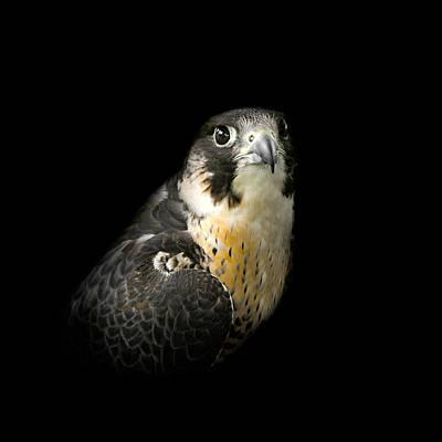 Peregrine Falcon Art Print by Bill Wakeley