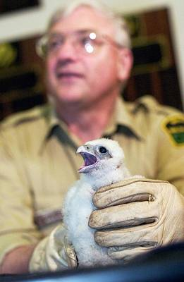 Peregrine Photograph - Peregrine Falcon Chick by Jim West
