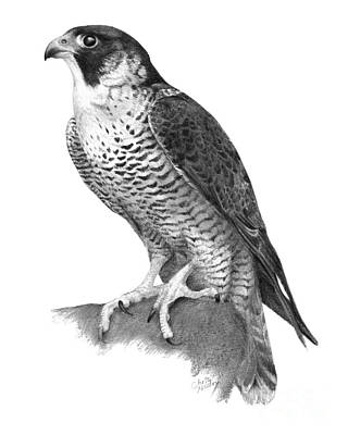 Drawing - Peregrine Falcon by Chris Mosley