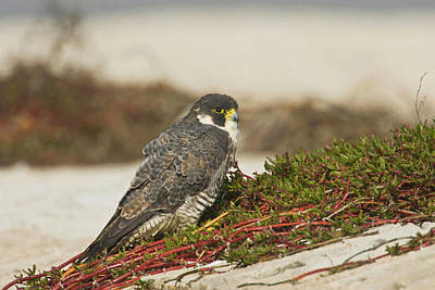 Peregrine Photograph - Peregrine Falcon (falco Peregrinus by Larry Ditto
