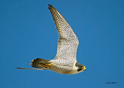 Peregrine Falcon Fly-by Art Print by Stephen  Johnson