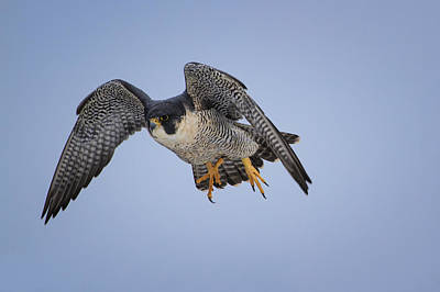 Peregrine Falcon Art Print by Gary Hall