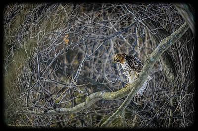 Barred Photograph - Peregrine Falcon by LeeAnn McLaneGoetz McLaneGoetzStudioLLCcom