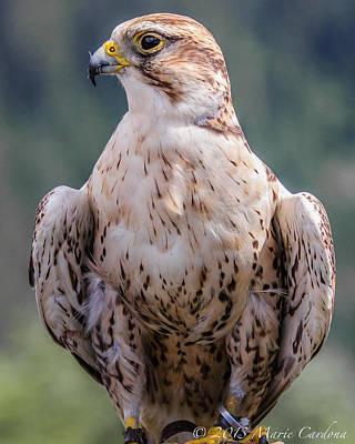 Peregrine Falcon Art Print by Marie  Cardona