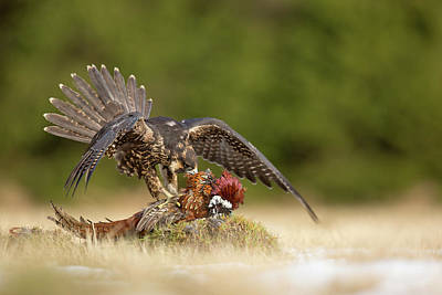 Wild Life Photograph - Peregrine Falcon by Milan Zygmunt