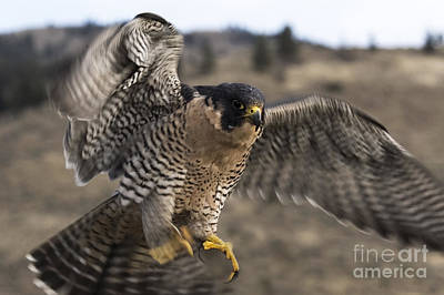 Birds Photograph - Peregrine Falcon by Wildlife Fine Art